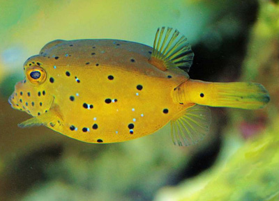 yellow boxfish which inspired the shape of the Mercedes-Benz Bionic concept car