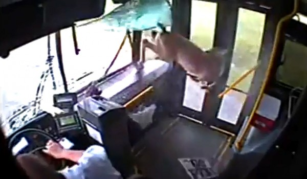 deer comes through bus window